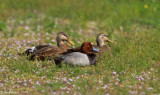 Redhead with Mottled Ducks