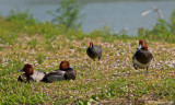 Redhead with Common Gallinule