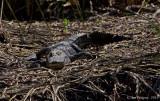 Sleeping Gator