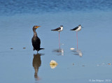 Double-crested Cormorant with Black-necked Stilts