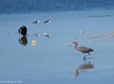 ReddishEgret, Double-crested Cormorant, Black-necked Stilts