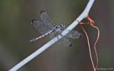 Great Blue Skimmer - Female