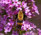 Snowberry Clearwing