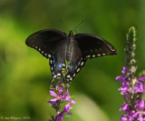Black Swallowtail (Female) Taking Flight