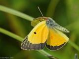 Orange Sulphur in Flight