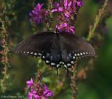 Spocebush Swallowtail