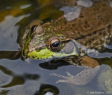 Green Frog - Female