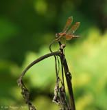 Eastern Amberwing - Male