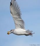 Herring Gull with Clam