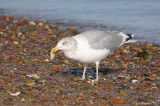 Herring Gull with Clam