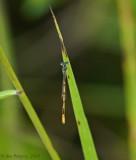 Citrine Forktail - Male