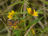 Pearl Crescent and Bee Mimic