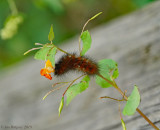 Yellow Bear (Virginian Tiger Moth)
