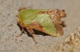 Stinging Rose Caterpillar Moth