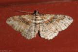 Bentline Carpet Moth