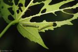 Hibiscus Sawfly Larvae