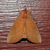 White-dotted Prominent