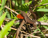 Brown Anole Displaying Dewlap