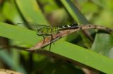 Eastern Pondhawk - Female