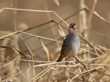 White-crowned Sparrow (Immature)