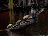 Double-crested Cormorant with Turtles