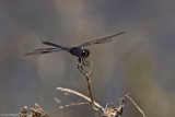 Four-spotted Pennant - Male