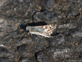 Common Checkered Skipper