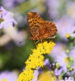 Meadow Fritillary