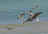 Brown Pelican with Laughing Gulls