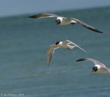 Common Tern and Laughing gulls