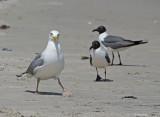 Herring Gull with Laughing Gulls