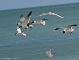 Sandwich Terns with Laughing Gulls