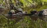 Yellow-bellied Slider with Eastern Painted Turtles