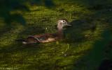 Wood Duck - Female
