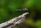 Great Blue Skimmer - Male