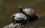 Yellow-bellied Slider & Northern Red-bellied Cooter