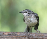 Northen Mockingbird