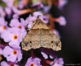 Ambiguous Moth