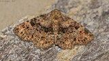 Four-spotted fungus Moth