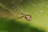 Bowl-and-Doily-Spider-(Frontinella-communis)DSC_0502.jpg
