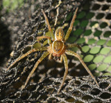 Six-spotted-Fishing-Spider---DSC_0354jpg
