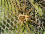 Six-spotted-Fishing-Spider---DSC_0358jpg