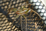 Six-spotted-Fishing-Spider---DSC_0361.jpg