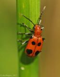 Six-spotted-Neolema-(N.-sexpunctata)---DSC_0472.jpg
