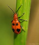 Six-spotted-Neolema-(N.-sexpunctata)---DSC_0474.jpg