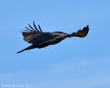 Turkey-Vulture-on-Pullos---6708.jpg