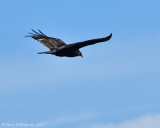 Turkey-Vulture-on-Pullos---6711.jpg