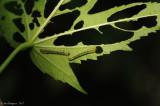 Hibiscus-Sawfly-Larvae-(Atomacera-decepta)---DSC_0493.jpg