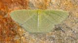 Wavy-lined-Emerald-(Synchlora-aerata)---DSC_0352.jpg