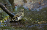 Dippers, Gnatcatchers and Kinglets